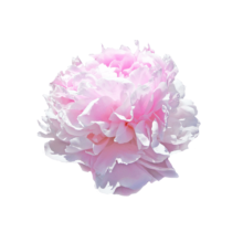 Thumbnail of paeoniae Pink Giant - Big bloom