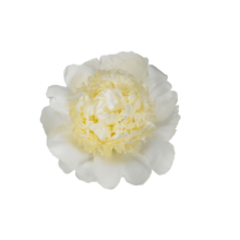 Thumbnail of paeoniae Bridal Gown - Flamboyant, completely filled flower with impressive pale yellow core