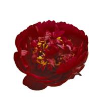 Thumbnail of paeoniae Бакай Белль - Искрящийся цветок