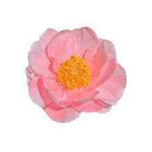 Thumbnail of paeoniae Salmon Chiffon - Indrukwekkend roze