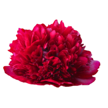 Thumbnail of paeoniae Red Grace - Packed full of petals