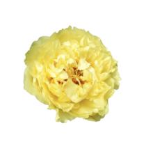 Thumbnail of paeoniae Sunny Girl - Zomerse kleur