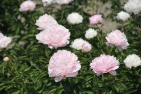 Paeonia Pillow Talk is a romantic wedding flower.