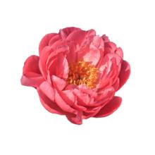Thumbnail of paeoniae Pink Hawaiian Coral - Smaakmaker