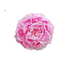 Thumbnail of paeoniae Sarah Bernhardt - The most famous peony