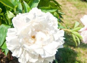 Paeonia Mother Choice, beautiful romantic wedding flower