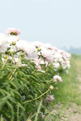 Paeonia Alertie in the field