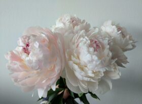 Blush white Paeonia Odile in full bloom is the perfect wedding flower