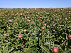 Paeonia Dr Alex Fleming in the field
