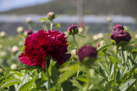 Red Peony in the field