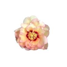 Thumbnail of paeoniae Callie's Memory - Zachte zalmroze, oranje en koperkleurige bloem