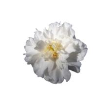 Thumbnail of paeoniae Camellia White - Fresh colour palette