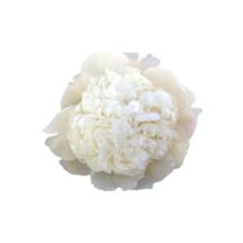 Thumbnail of paeoniae Capital Dome - Big white bomb