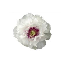 Thumbnail of paeoniae Cora Louise - Vlammende pioen met lavendel kleur