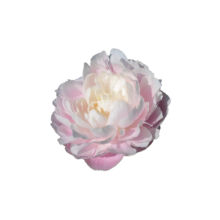 Thumbnail of paeoniae Mrs Franklin D Roosevelt - Pastel flower with a strong personality