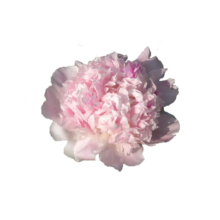Thumbnail of paeoniae Mister Ed - Two-coloured pink peony